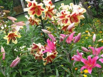 Лилии в саду, выращивание, посадка  и уход