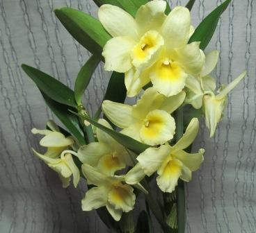 Орхидея дендробиум нобиле, уход в домашних условиях