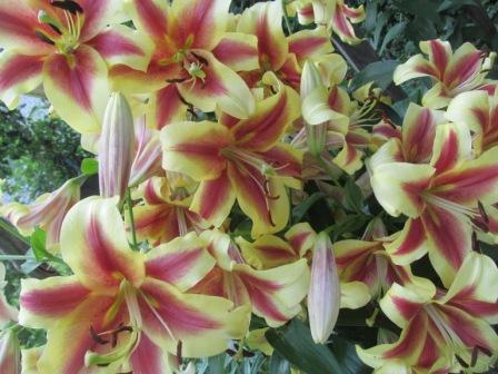 Пересадка лилий осенью. Как посадить правильно.