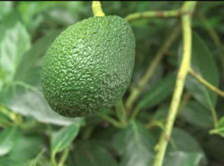 Авокадо или аллигаторова груша.
