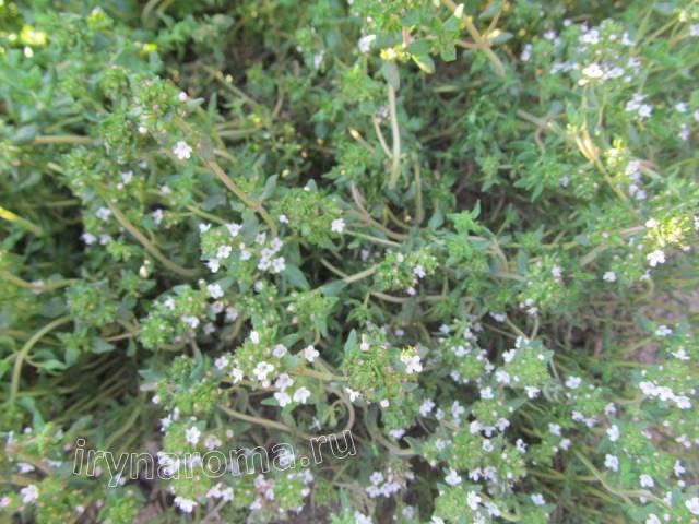 трава чабер