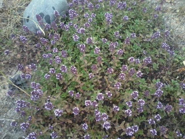 тимьян  растения