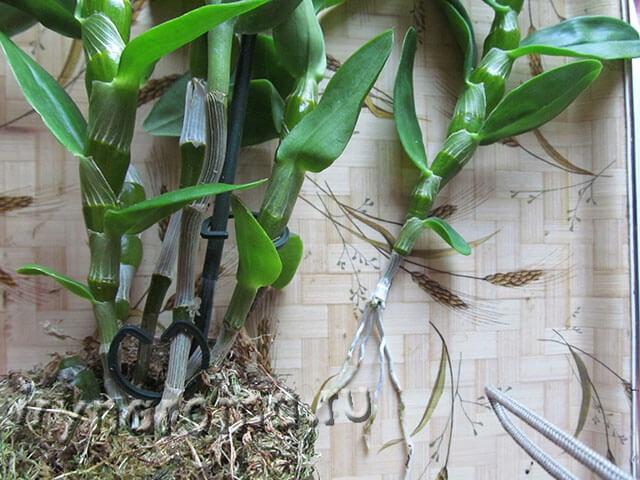 Размножение дендробиума в домашних условиях с фото