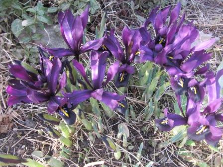 Иридодиктумы - луковичные ирисы