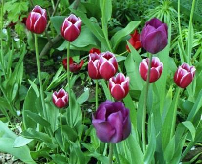 тюльпаны простые поздние