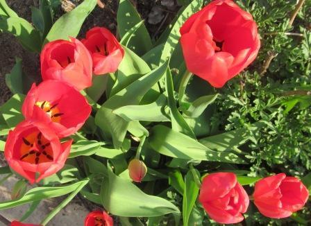 тюльпаны дарвиновы гибриды фото