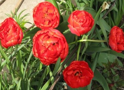 Тюльпаны махровые ранние