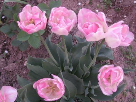тюльпаны выбрать сорт