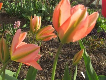 тюльпаны зеленоцветковые фото