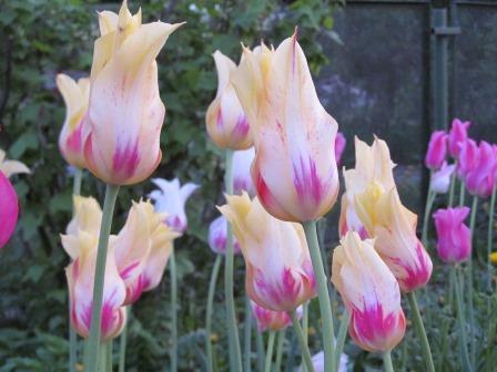 тюльпаны лилиецветные сорт мерилин