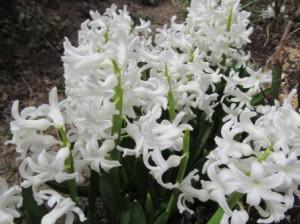 Цветы для сада-белые гиацинты