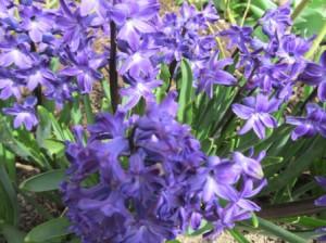 Гиацинты синие