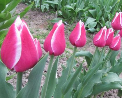 Тюльпан сорт Аристократ