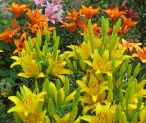 Цветы в саду лилии Азиатские гибриды