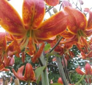 Цветы лилии Мартагон