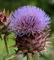 Цветок артишока