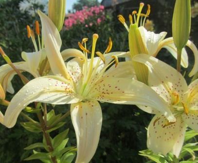 лилии азиатские белые