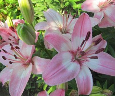 лилии розовой окраски