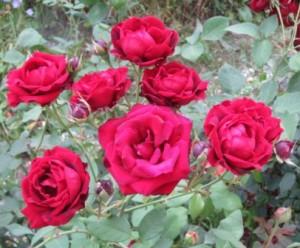 roza-floribunda