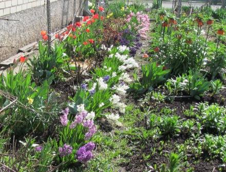 гиацинты весной
