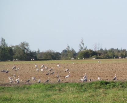 Журавли на поле