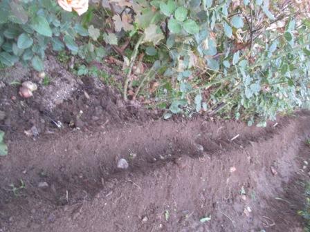 посадка гиацинтов в открытый грунт