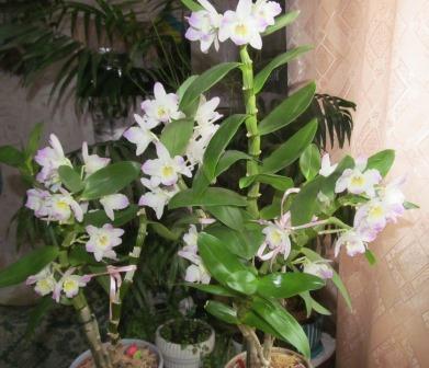 как ухаживать за орхидеей дома дома