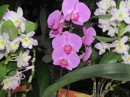 орхидеи дендробиум и фаленопсис