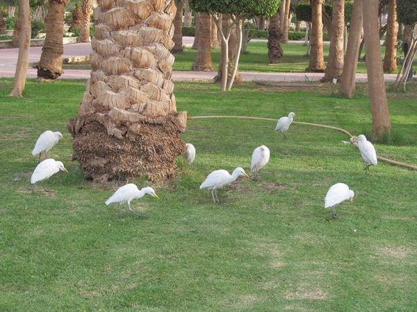 Египетские цапли в парке возле отеля