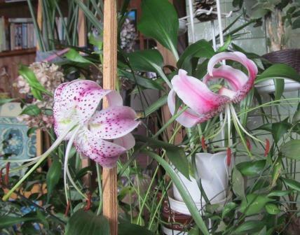 что делать с проросшей лилией