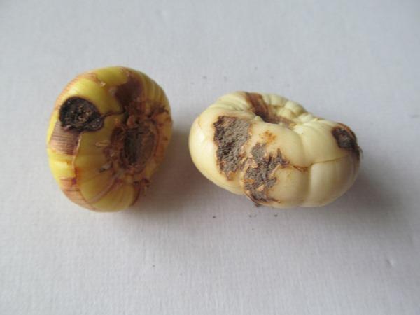 больные луковицы гладиолусов