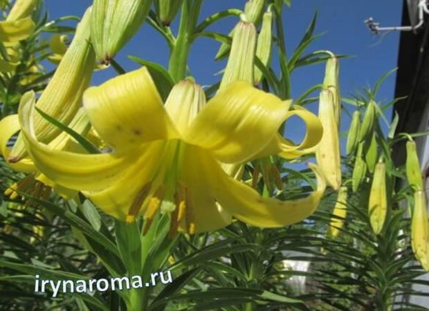 желтая лилия шовица