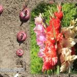 как посадить гладиолусы весной