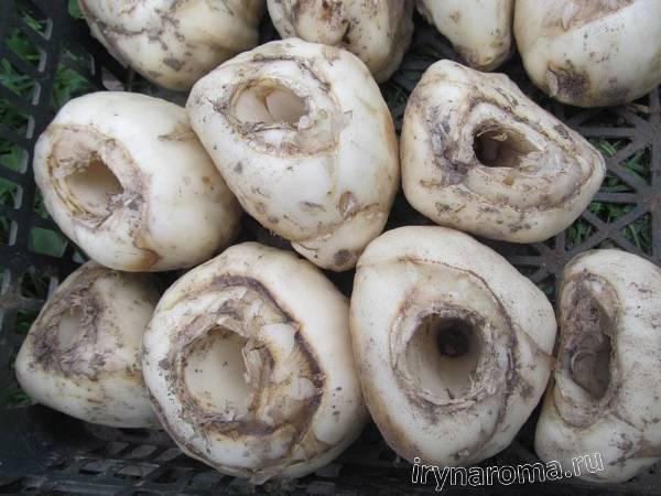 как хранить луковицы рябчиков