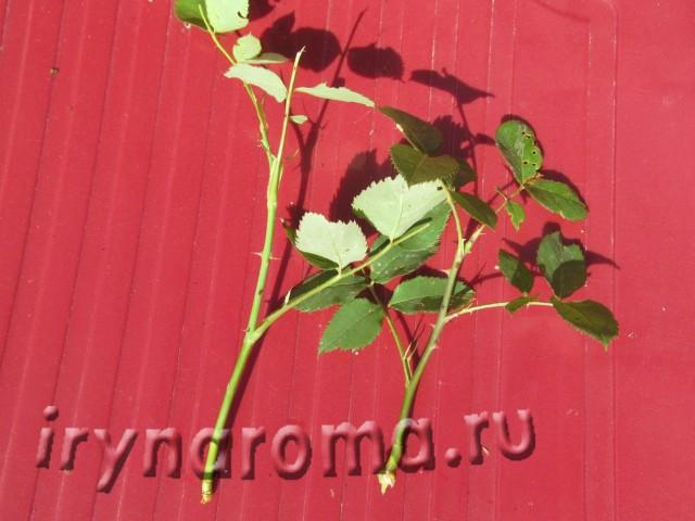 Черенки роз из недоразвитых побегов