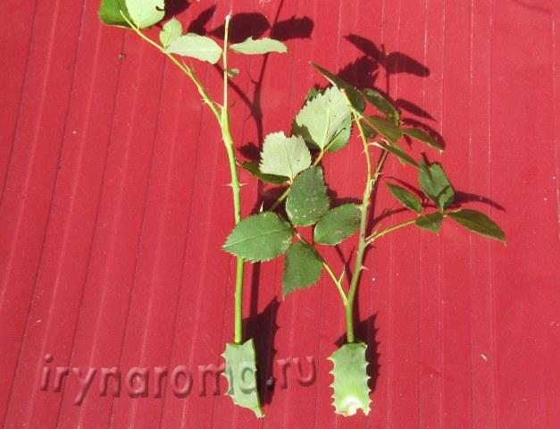 Размножение плетистой розы черенками летом