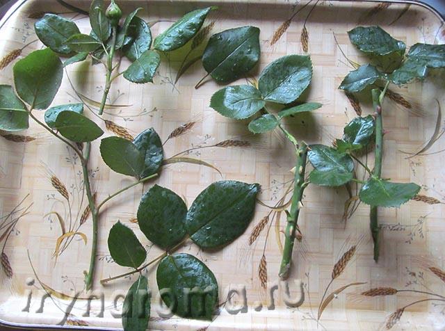 размножение роз зелеными черенками