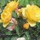Как размножить розы черенками летом.