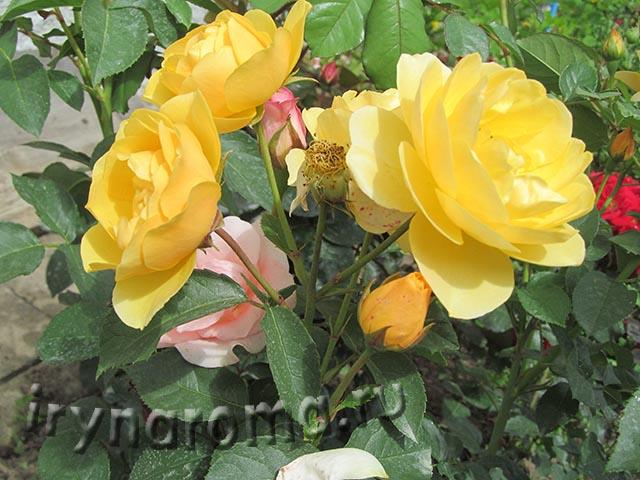 розы из черенков