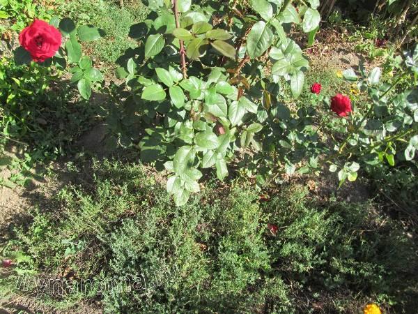 тимьян садовый