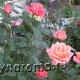 Когда и как укрывать розы на зиму.