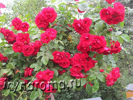 Укрытие плетистых роз