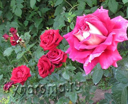 Укрытие на зиму чайно-гибридных роз