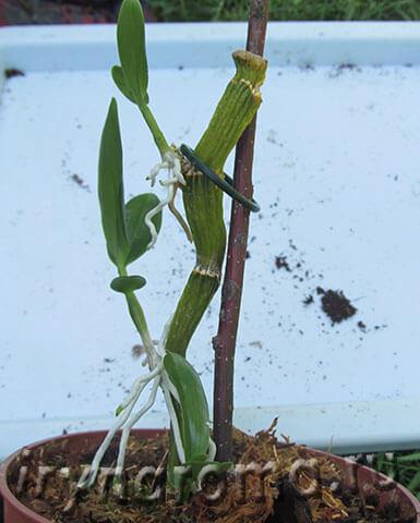детки орхидеи дендробиум