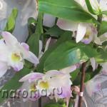 размножение орхидеи дендробиум нобиле
