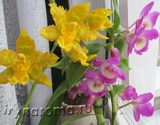цветы камбрии и дендробиума