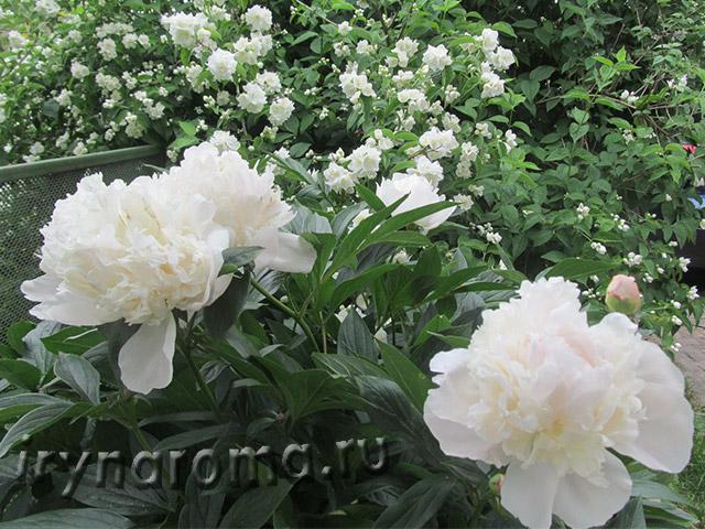 белая дача цветы