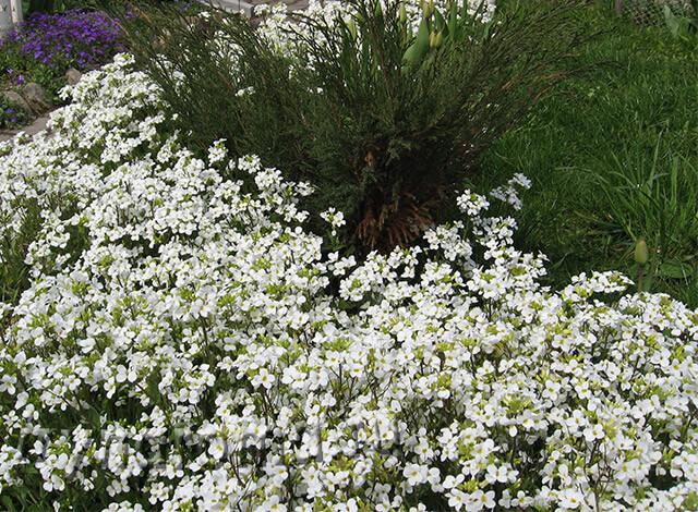 белые цветы для бордюра иберис
