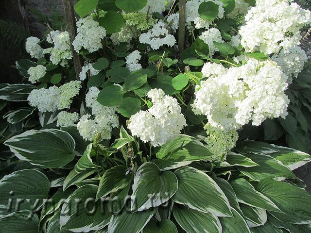 цветы белая гортензия