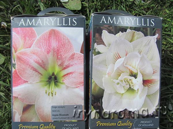как посадить амариллис